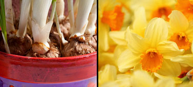 Daffodil bulbs (left) and daffodils (right)